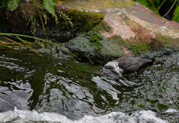 Tarten van natuurwetten: De waterspreeuw